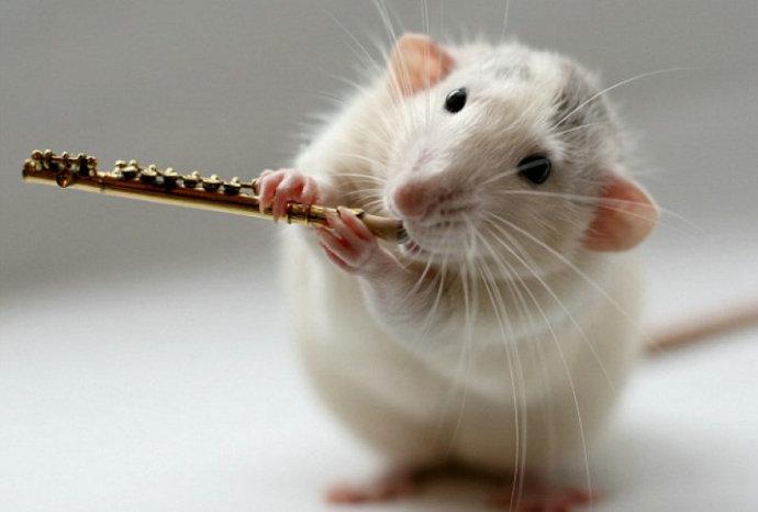 """--> 它们的声音听起来有点刺耳。它们的音乐品味可能只能用""""低级""""来描述。但是,它们应该是动物王国中最可爱的演奏组合:两只宠物鼠被主人训练得学会了用爪子""""演奏""""微型乐器。 使用奖励美食的办法,荷兰罗森达尔市的职业摄影师艾伦·范·迪伦教会了他的宠物鼠默皮和威特尔做出使用演奏各种乐器的动作,这些乐器包括排笛、吉他、长笛和长号。迪伦女士表示,在看到商店出售微型吉他后,她萌生了这一想法。她说:""""事实上,我一直不喜欢老鼠,我"""